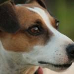 Características físicas de los perros Jack Russell Terrier