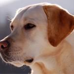 Bóxer vs Labrador Retriever