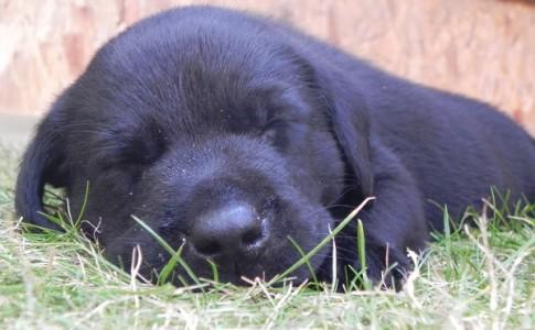 Labrador Retriever bebé