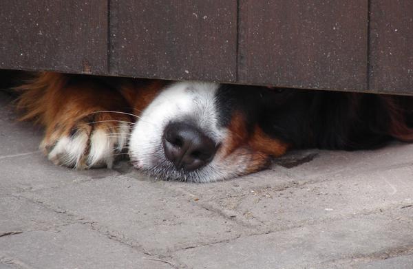 Miedo perros pirotecnia