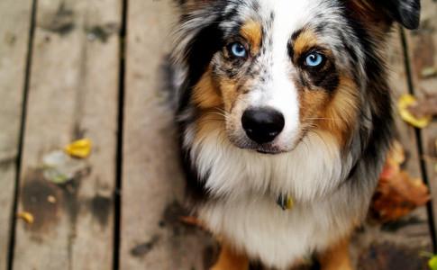 El perro pastor ganadero australiano