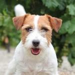 Pelo corto de los Jack Russell Terrier