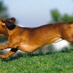 Perro Tejonero corriendo