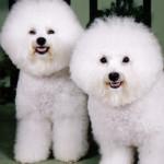 Perros de la raza Bichon Frise