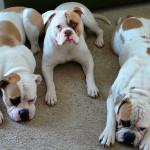 Perros de la raza American Bulldog