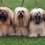 Perros de la Raza Lhasa Apso
