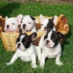Bulldog Francés bebés