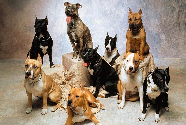 7 Nombres Para Perros Pit Bull Terrier Americano Nombres