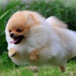 Raza Pomerania buen perro guardián