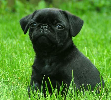 Cachorro de Pug Negro | Mundo Perro