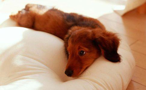 gestacion de perro que hacer