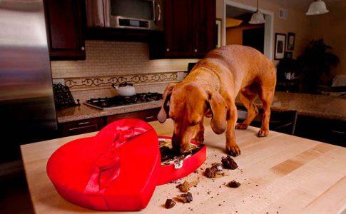 mi perro comio chocolate que hago