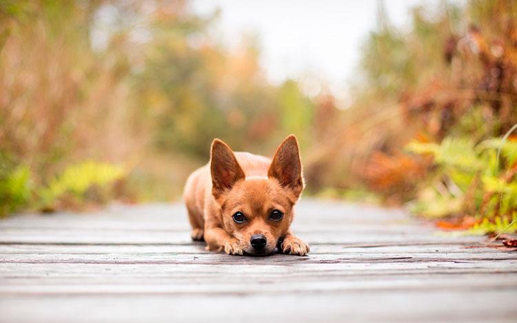 Razas De Perros Pequeños Perros De Raza Pequeña