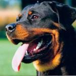 Bóxer vs Rottweiler