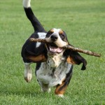 Basset Hound ejercicio