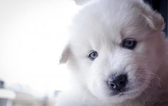 Cachorro de Samoyedo de un mes