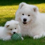 Hembra de Samoyedo con cachorro