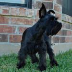 Perro guardián de Schnauzer miniatura