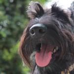 Cuidados para Scottish Terrier