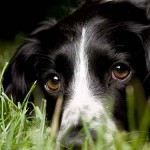 Springer Spaniel adulto