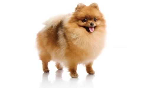 Raza de perro Pomerano