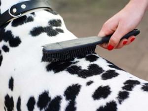 Formas de cepillar a perros de pelo corto