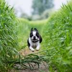 Carácter del Boston Terrier cachorro