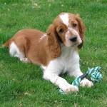 Carácter de los cachorros de la raza Springer Spaniel