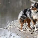 El temperamento del perro pastor ganadero australiano