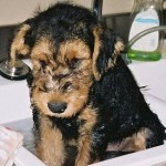 Airedale Terrier con 2 meses