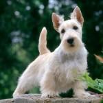 Características del Scottish Terrier