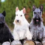 Colores de los Scottish Terrier