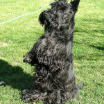 Carácter del Scottish Terrier