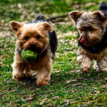 Perros Yorkshire Terrier jugando