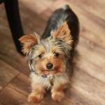 Cachorro de Yorkshire Terrier con 5 meses