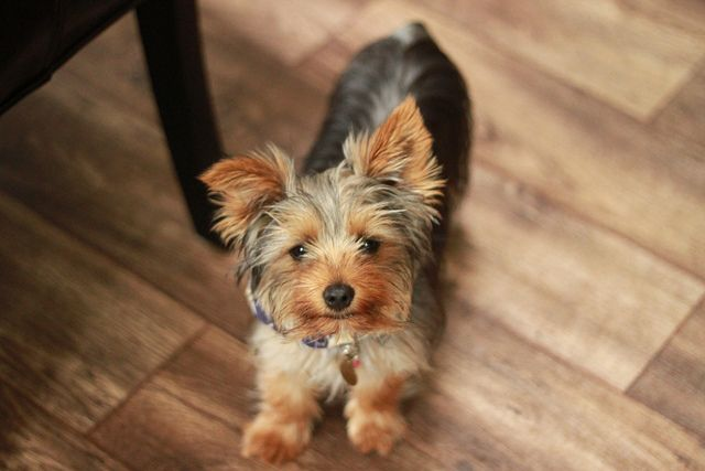 Yorkshire terrier com 5 meses