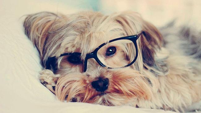 Yorkshire Terrier con temperamento inteligente