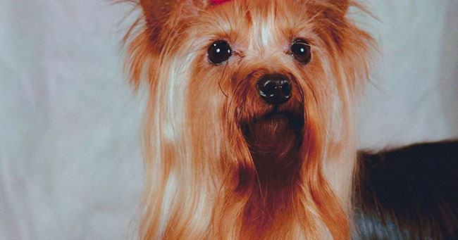 Yorkshire Terrier con pelo largo