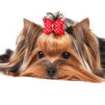 Hembra de Yorkshire Terrier