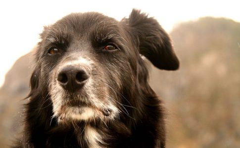Caída de pelo en los perros mayores