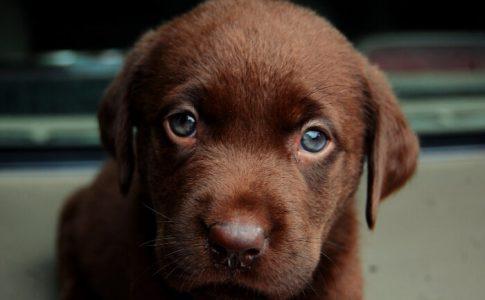 ¿Cuánto tardan en abrir los ojos los cachorros de perro?