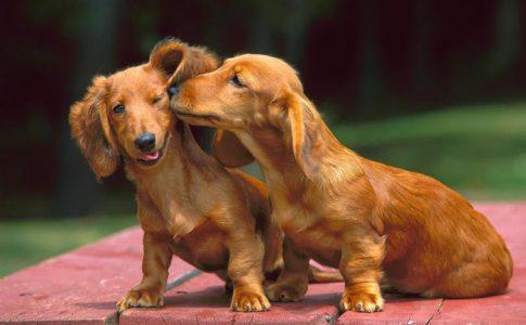 ¿A partir de qué edad un perro es fértil?
