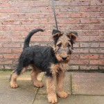 Airedale terrier 4 months