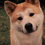 Akita Inu vs Pit Bull Terrier Americano