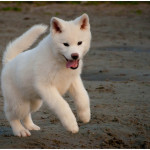 Cachorro de Akita japonés de color Blanco