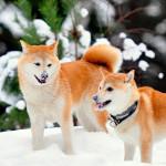 Akita Inu japoneses en la nieve