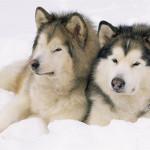 perro de la raza alaskan malamute