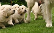 Alimento para perros durante la lactancia