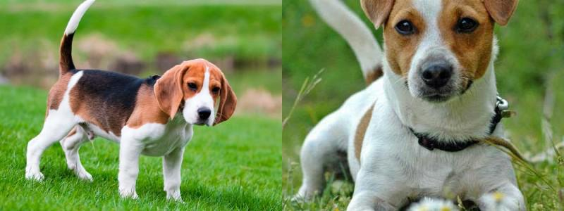 Fox terrier pelo liso vs jack russell