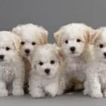 Bichón Frisé cachorros